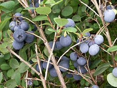 Northern Bilberry