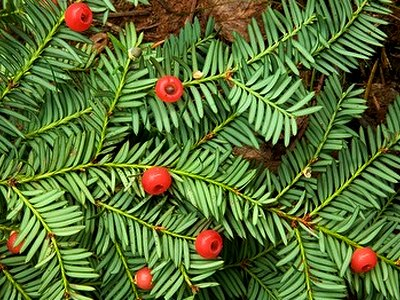Canadian Yew