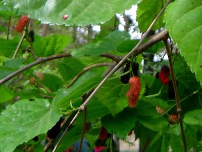 Korean Mulberry