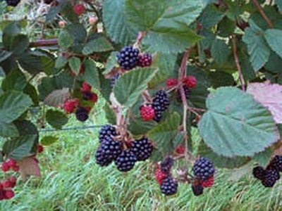 Common Blackberry