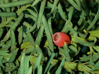 Common Yew