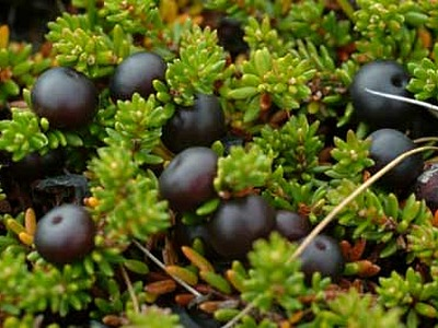 Wild Mountain Bilberry