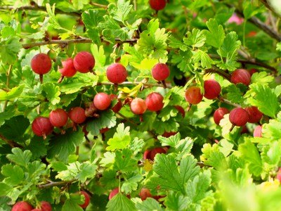 Hedge Gooseberry - Hedge Gooseberry Plants - Grow Hedge ...