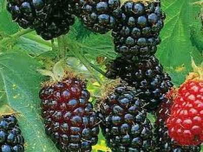 Silvan Blackberry