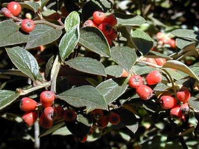 Silverleaf Cotoneaster Silverleaf Cotoneaster Plants