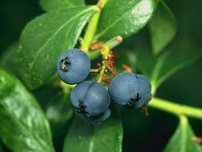 Mountain Huckleberry